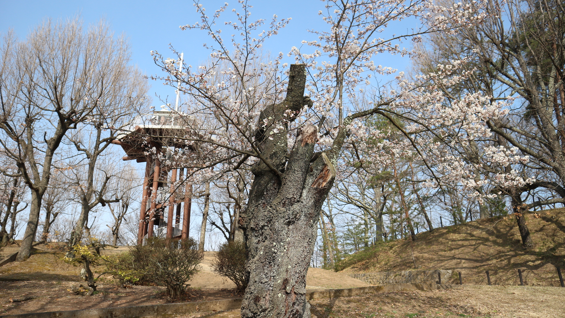 城山公園桜の古木