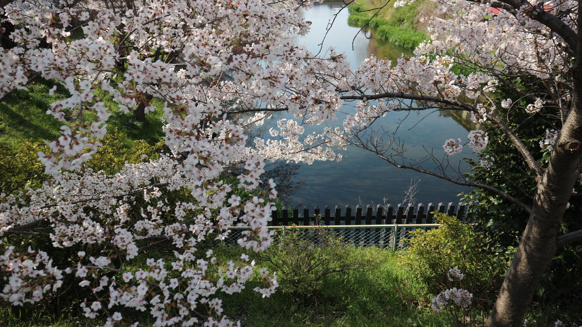 総掘り桜2年4月15日