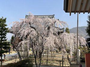 2021.3.30 AM  里山辺 兎川寺の枝垂れ桜