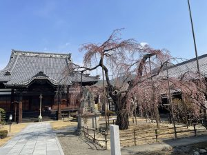 2012.3.26  AM   兎川寺の枝垂れ桜