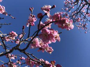 ชมดอกบ๊วยที่สวนสาธารณะปราสาทมัตสึโมโต้