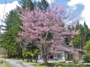 乗鞍高原のサクラの花が咲きだしてきています!