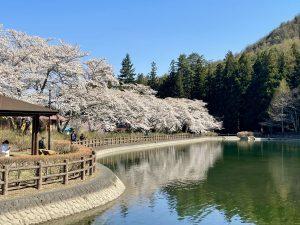 梓川ふるさと公園のさくら  2021/4/11満開