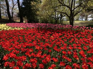 ชมดอกทิวลิปที่สวน Alps Azumino (อำเภออะซูมิโน่)