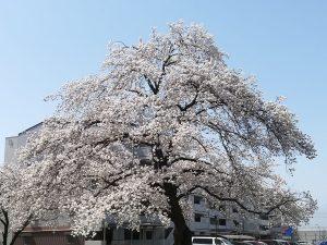 거리의 벚꽃 풍경