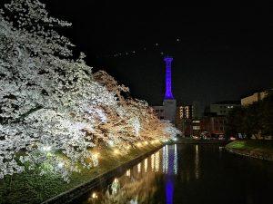 마츠모토성의 야간 벚꽃