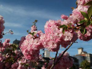 八重桜が満開です。