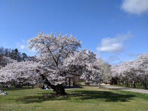 Les Sakura à Matsumoto – Partie 1 : Le Parc des Alpes