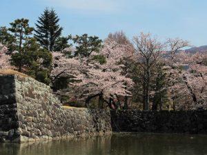 An Unusual Cherry Blossom Season at Matsumoto Castle