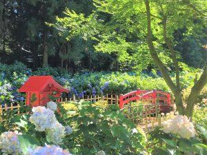 Blumenbaden im Hortensien-Tempel (弘長寺)